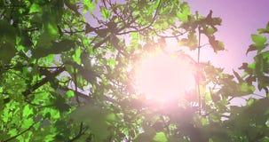 Los árboles forestales siluetean y las hojas del verano de la primavera del verde en el cielo de la luz del día con los rayos de  almacen de metraje de vídeo
