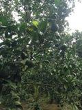 Los árboles frutales Imagen de archivo