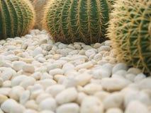 Los árboles hermosos del cactus de la bola en el jardín fotos de archivo