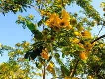 Los árboles hermosos ponen verde el fondo de la flor amarilla y del cielo azul Fotografía de archivo