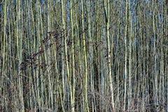Los árboles jovenes en el bosque les gusta una cortina Imagenes de archivo