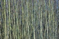 Los árboles jovenes en el bosque les gusta una cortina Imagen de archivo libre de regalías