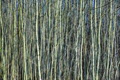 Los árboles jovenes en el bosque les gusta una cortina Foto de archivo