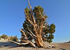 Los árboles más viejos de los mundos en las montañas blancas de California imagen de archivo libre de regalías