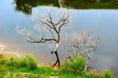 Los árboles muertos en el lago Imagenes de archivo
