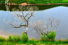 Los árboles muertos en la orilla del lago Fotos de archivo libres de regalías