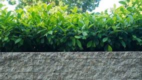 Los árboles plantan en el pote blanco del ladrillo como fondo Fotos de archivo libres de regalías