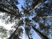 Los árboles que estiran en el cielo Fotografía de archivo