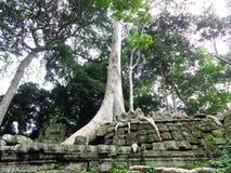 Los árboles que estrangulan de los sitios de Angkor Wat Foto de archivo libre de regalías