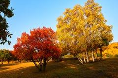 Los árboles rojos y amarillos en la puesta del sol de los prados Foto de archivo libre de regalías
