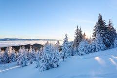 Los árboles spruce nevados se colocan en prado barrido nieve de la montaña debajo de un cielo azul Sol maravilloso del invierno a Foto de archivo libre de regalías