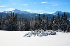 Los árboles spruce nevados se colocan en prado barrido nieve de la montaña debajo de un cielo azul Sol maravilloso del invierno a Imagenes de archivo