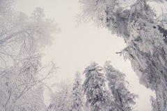 Los árboles superiores cubiertos con nieve contra el cielo azul, árboles congelados en el fondo del cielo del bosque, ramas de ár Imagen de archivo