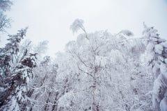 Los árboles superiores cubiertos con nieve contra el cielo azul, árboles congelados en el fondo del cielo del bosque, ramas de ár Fotos de archivo libres de regalías