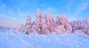 Los árboles torcidos agradables cubiertos con capa gruesa de la nieve aclaran puesta del sol coloreada color de rosa en día de in fotos de archivo