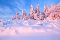 Los árboles torcidos agradables cubiertos con capa gruesa de la nieve aclaran puesta del sol coloreada color de rosa en día de in imágenes de archivo libres de regalías