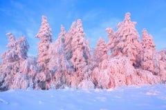 Los árboles torcidos agradables cubiertos con capa gruesa de la nieve aclaran puesta del sol coloreada color de rosa en día de in imagen de archivo