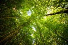 Los árboles verdes rematan en el bosque, el cielo azul y los haces del sol brillando el th Imágenes de archivo libres de regalías