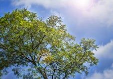 Los árboles verdes rematan en el bosque, el cielo azul y los haces del sol brillando a través de las hojas Visión inferior Fotografía de archivo