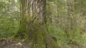 Los árboles viejos con el liquen y el musgo en naturaleza de los árboles forestales del bosque ponen verde la madera Musgo en el  Fotos de archivo