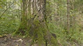 Los árboles viejos con el liquen y el musgo en naturaleza de los árboles forestales del bosque ponen verde la madera Musgo en el  Imagen de archivo libre de regalías