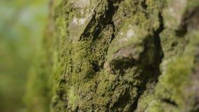 Los árboles viejos con el liquen y el musgo en naturaleza de los árboles forestales del bosque ponen verde la madera Musgo en el  Imagenes de archivo