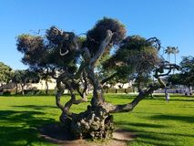 Los árboles viejos de Chipre acercan a la playa California Imágenes de archivo libres de regalías
