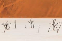 Los árboles y las dunas muertos en una sal critican el desierto de namib Imagen de archivo