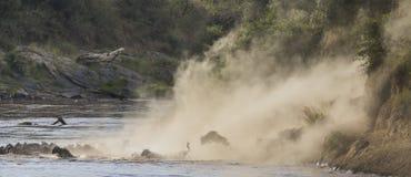 Los ñus están corriendo al río de Mara Gran migración kenia tanzania Masai Mara National Park Fotografía de archivo