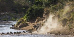 Los ñus están corriendo al río de Mara Gran migración kenia tanzania Masai Mara National Park Imágenes de archivo libres de regalías