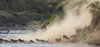 Los ñus están corriendo al río de Mara Gran migración kenia tanzania Masai Mara National Park Fotos de archivo libres de regalías