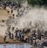 Los ñus están corriendo al río de Mara Gran migración kenia tanzania Masai Mara National Park Imagenes de archivo