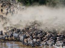Los ñus están corriendo al río de Mara Gran migración kenia tanzania Masai Mara National Park Foto de archivo libre de regalías