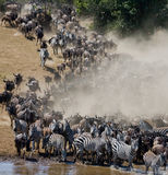 Los ñus están corriendo al río de Mara Gran migración kenia tanzania Masai Mara National Park Fotografía de archivo libre de regalías