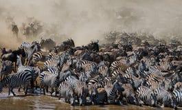Los ñus están corriendo al río de Mara Gran migración kenia tanzania Masai Mara National Park Imagen de archivo libre de regalías