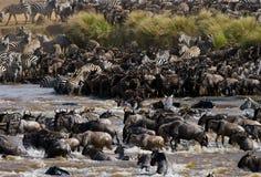 Los ñus están cruzando el río de Mara Gran migración kenia tanzania Masai Mara National Park Foto de archivo