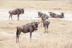 Los ñus, también llamaron antílopes del ñu Connochaetes foto de archivo libre de regalías