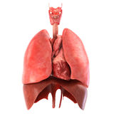 Los órganos internos humanos anatómico exactos rinden Fotografía de archivo libre de regalías
