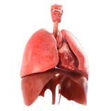 Los órganos internos humanos anatómico exactos rinden Foto de archivo