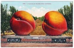 Los años 10 gigantes de los 1900s de los melocotones de las ilustraciones de la postal de la exageración del vintage Fotos de archivo
