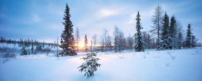 Los Años Nuevos de árbol de abeto en el bosque del invierno de la nieve en azul entonan panorama Fotografía de archivo libre de regalías