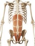 Los abdominis del músculo recto Imágenes de archivo libres de regalías