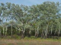 Los abedules brillantes de la primavera, troncos blancos, los jóvenes brillantes se van en las ramas finas Fotografía de archivo libre de regalías