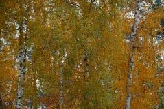 Los abedules con las hojas amarillas brillantes en un otoño parquean Imágenes de archivo libres de regalías