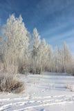 Los abedules cubiertos con paisaje del invierno de la escarcha Imagen de archivo libre de regalías