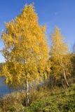 Los abedules de oro acercan al lago Imagen de archivo libre de regalías
