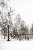Los abedules desnudos del invierno en el prado blanco cubrieron nieve Imágenes de archivo libres de regalías