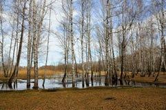 Los abedules desnudos se colocan en el agua en el bosque de la primavera Foto de archivo