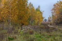 Los abedules en otoño con las hojas amarillas crecen en hierba densa Imagenes de archivo