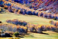 Los abedules hermosos del otoño en la ladera Foto de archivo